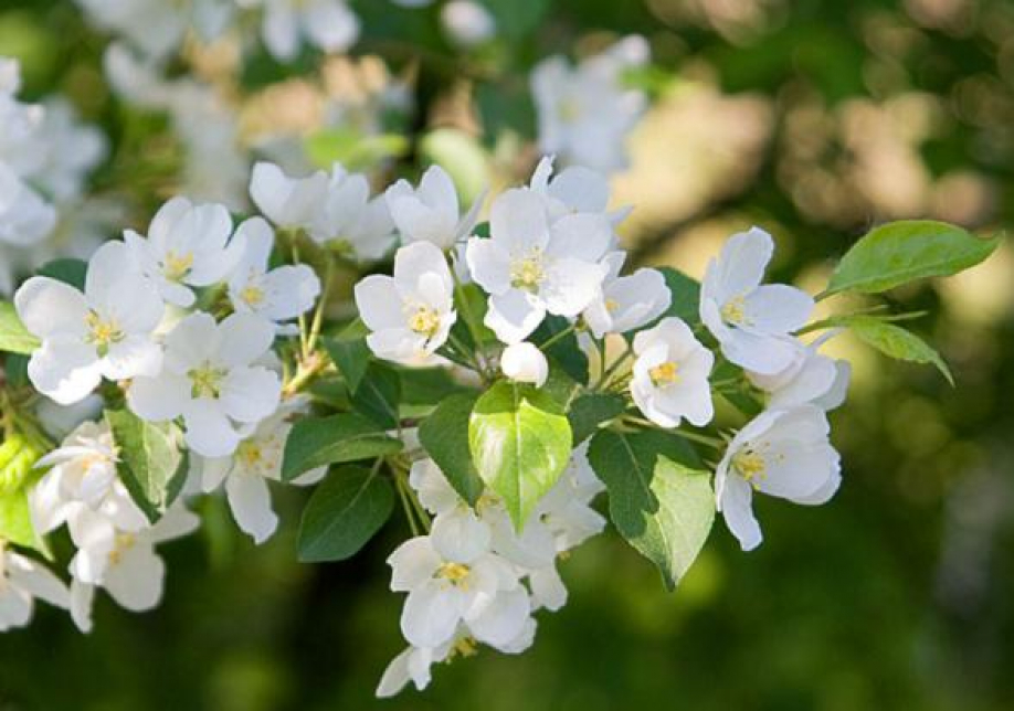 Мировая к чему цветет яблоня осенью приметы Основной