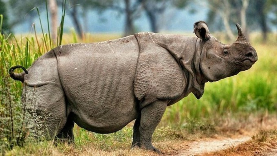 javan rhino facts range habitat diet population pictures - 794×447